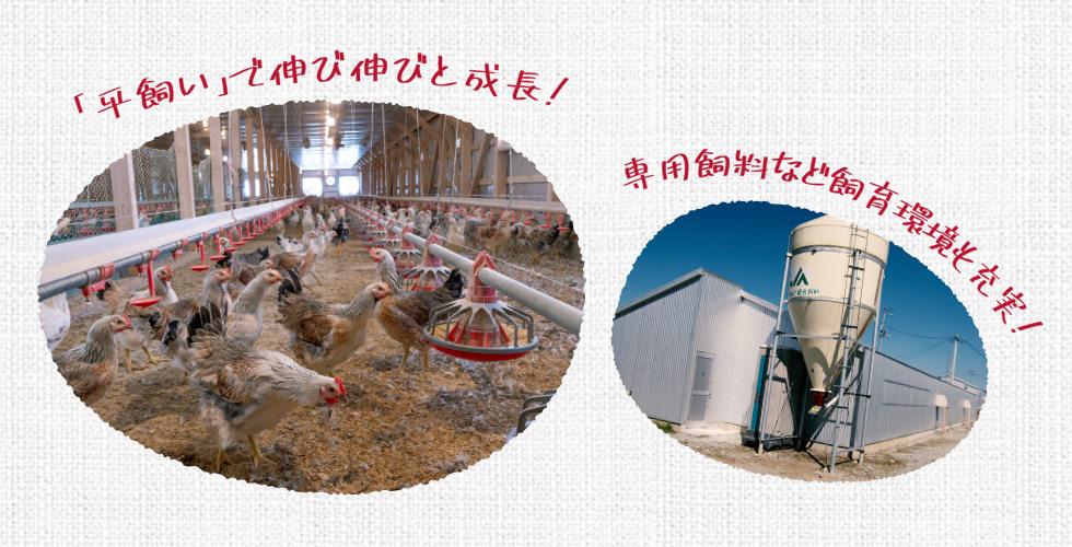 「平飼い」で伸び伸びと成長!専用飼料など飼育環境も充実!