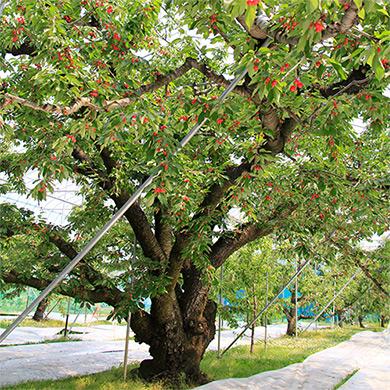 八果園の大沼 樹齢60年以上の大木