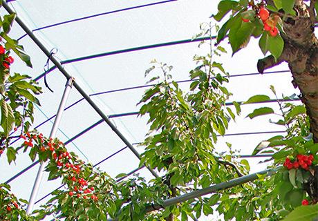 八果園の大沼 ビニールシートで被い雨から実を守る