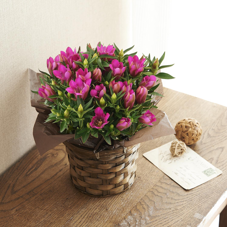 ≪日比谷花壇≫りんどうピンク