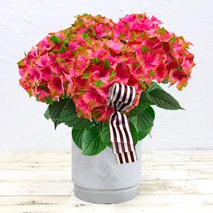 ≪青山フラワーマーケット アネックス≫あじさい「マスカレード」 5寸(ピンク)