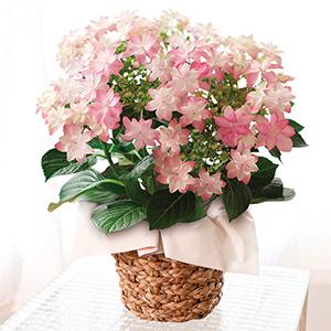 ≪日比谷花壇≫星咲きあじさい「ダンスパーティー」