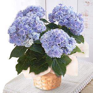 ≪日比谷花壇≫あじさい「プリンセスシャーロット」ブルー